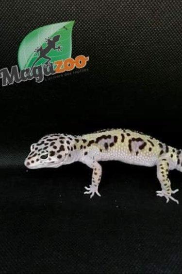 Gecko léopard  snow Mâle #2