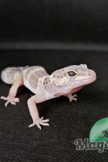 Gecko léopard  snow Mâle #3