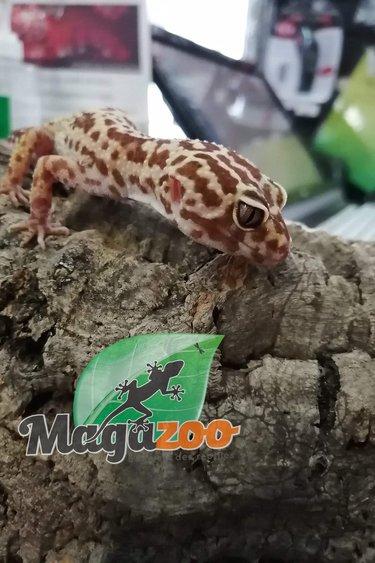 Magazoo Gecko léopard (Femelle 7 ans) - Adoption - 2ième chance