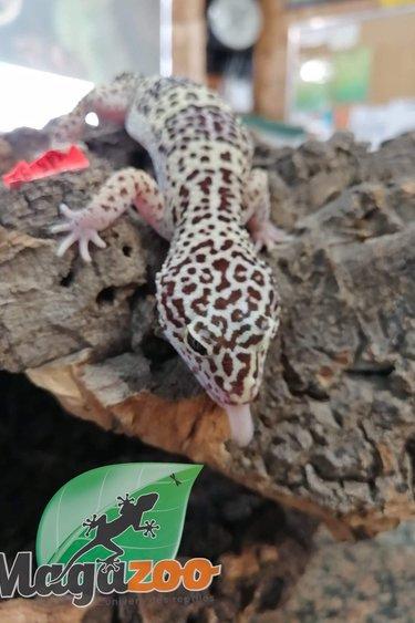 Magazoo Gecko léopard (Mâle 7 ans) -Adoption - 2ième chance