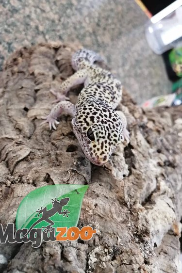 Magazoo Gecko léopard (Mâle 3 ans) - Adoption - 2ième chance