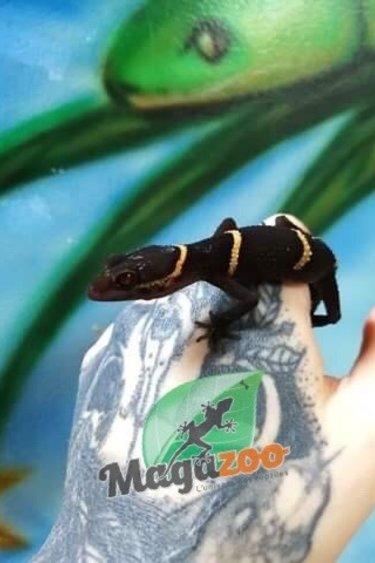 Magazoo Gecko chinois des cavernes (Mâle)