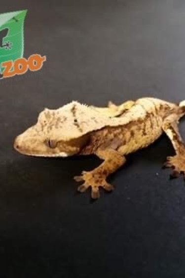 Magazoo Gecko à crête Halloween extrême harlequin #31