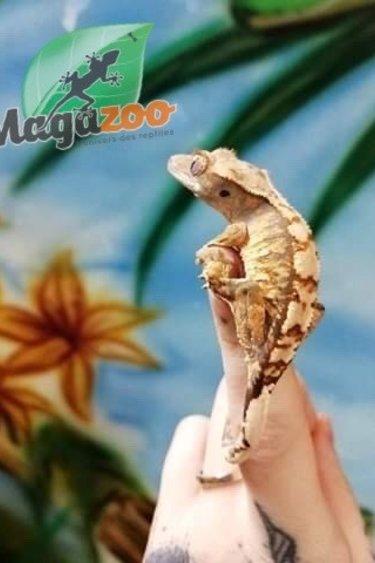 Magazoo Gecko à crête Halloween extrême harlequin #33