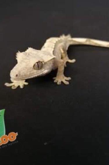 Magazoo Gecko à crête extrême harlequin #19