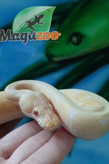 Magazoo Python royal Albino Spider femelle