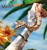 Magazoo Boa Sonoran Hypo Mâle (het. léopard, 66% pos. het. Super Stripe)
