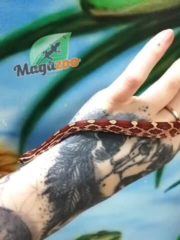 Magazoo Serpent des blés Het-Scaleless femelle
