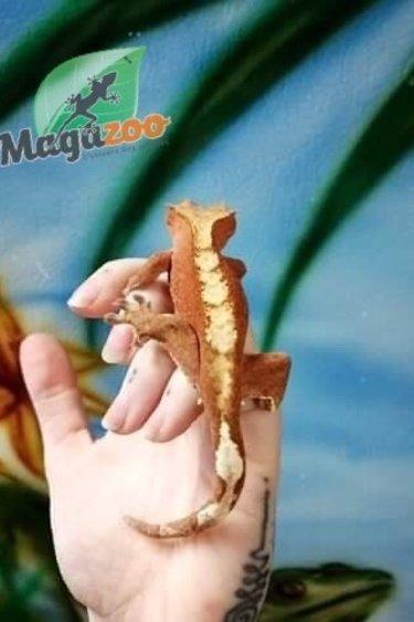 Magazoo Gecko à Crête Rouge Bicolor Juvénile