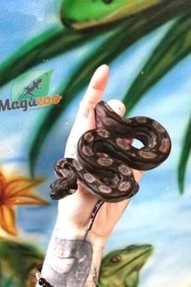 Magazoo Boa Nicaragua (BEA) Anery Motley Mâle  (het. Chocolat T+ Albino)