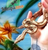 Magazoo Boa Nicaragua Chocolat T+ Albino Motley Mâle  (66% pos. het. BEA Anery)