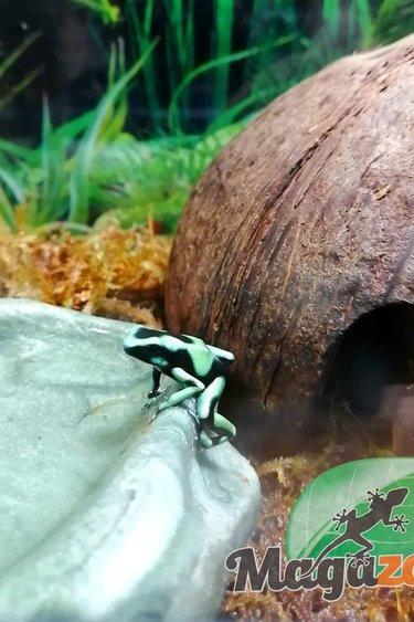 Magazoo Grenouille verte et noire poison - Dendrobate auratus dart frog