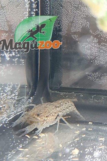 Magazoo Écrevisse Marbrée Femelle (petit)