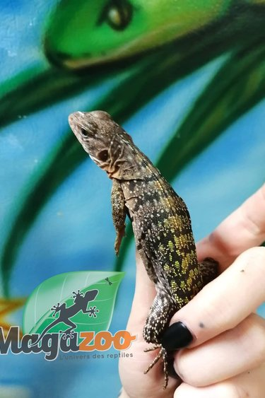 Magazoo Iguane à queue épineuse jaune mâle