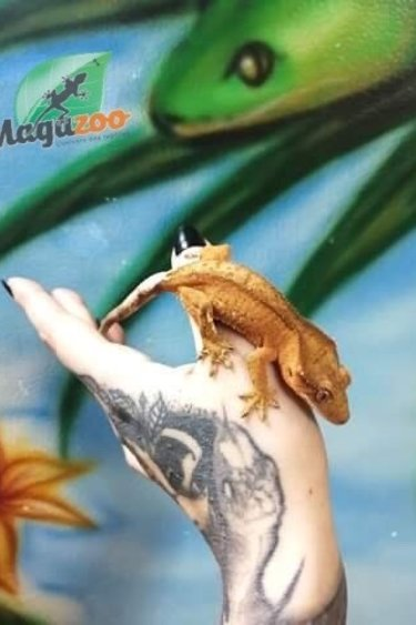 Magazoo Gecko à Crête Bicolor Tiger Juvénile