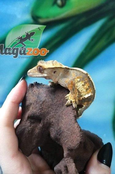 Magazoo Gecko à Crête Pinstripe Arlequin Juvénile Adoption - 2ième chance