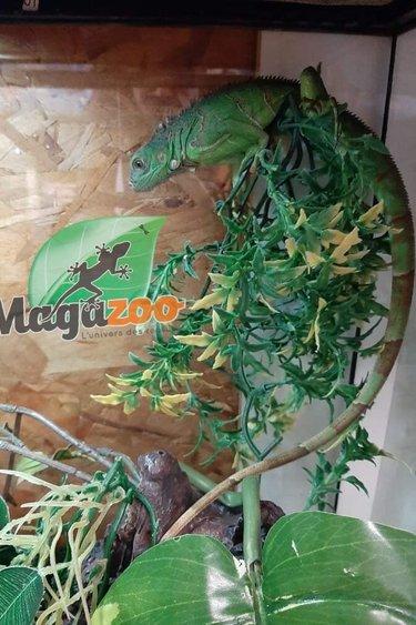 Magazoo Iguane vert mâle