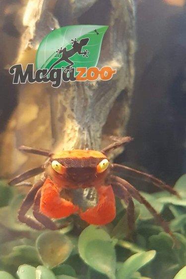 Magazoo Crabe Vampire Rouge
