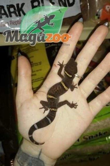Magazoo Gecko Chinois des Cavernes Mâle