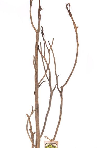 "NewCal Pets Branche de Césalpinia 30-40 po - Caesalpinia Branch 30 - 40"""