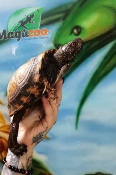 Magazoo Tortue boîte de l'Est Mâle 5 ans