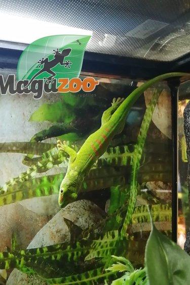 Magazoo Gecko Diurne Géant Crimson Juvénile Femelle