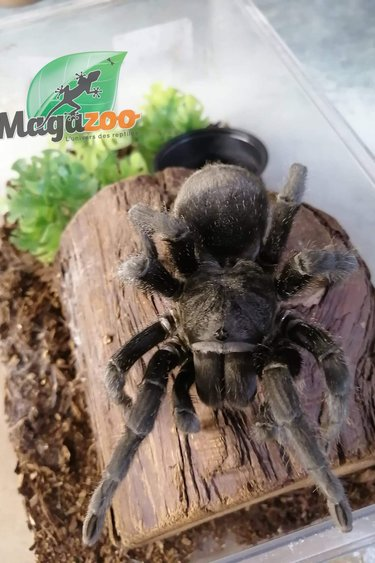 Magazoo Mygale noire du Brésil Femelle 5''+/Grammostola pulchra