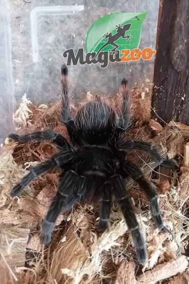 Magazoo Mygale Red Rump Femelle 5''/ Tliltocatl sabulosus