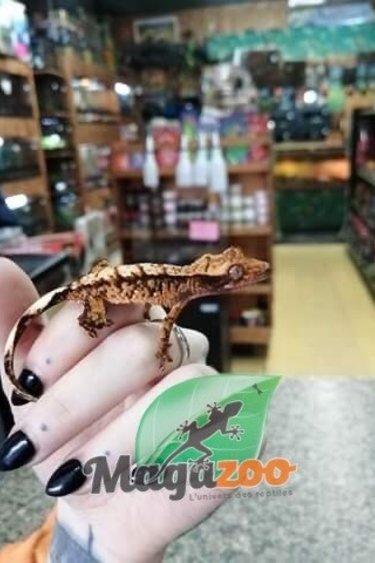 Magazoo Gecko à Crête Halloween Extrême Harlequin Bébé