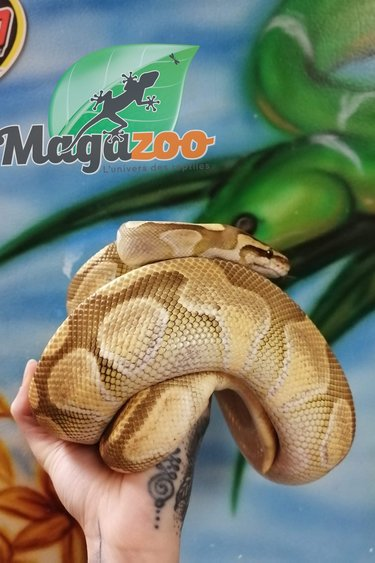 Magazoo Python Royal Butter Enchi Het Enhancer Mâle