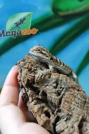 Magazoo Dragon Barbu Bébé 2