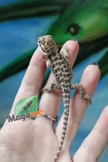 Magazoo Dragon Barbu Bébé 5