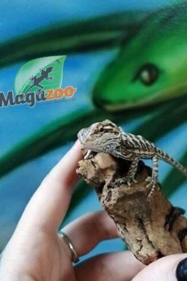 Magazoo Dragon Barbu Bébé 6