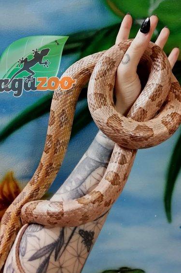 Magazoo Serpent des blés Coral ghost mâle  10 ans
