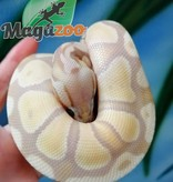 Magazoo Python Royal Pastel Banana Het red Axanthic Bébé Femelle