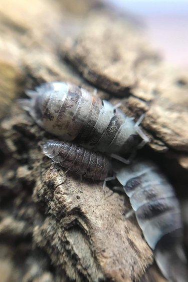 Magazoo Culture de Cloporte Isopod  scaber KOI 15 pack