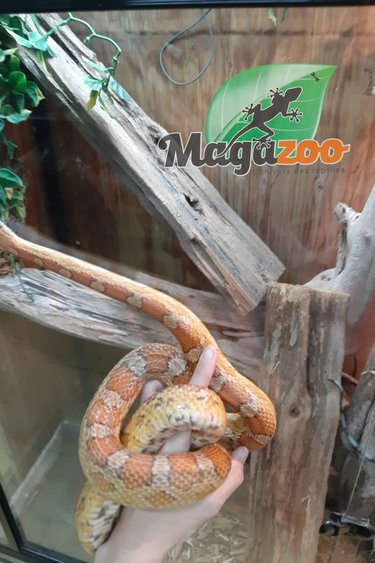 Magazoo Serpent des blés (Mâle 3 ans)