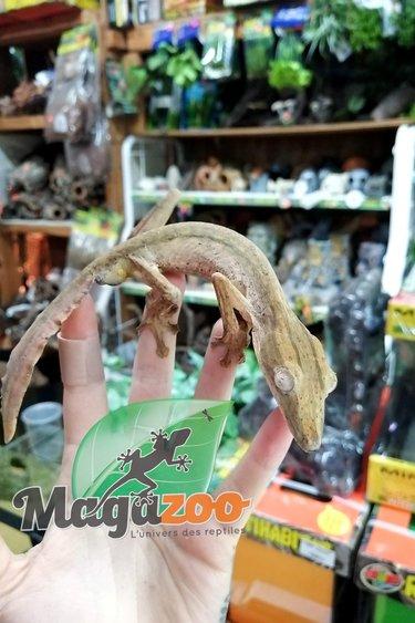 Magazoo Gecko à queue de feuille lignée mâle (Uroplatus lineatus)