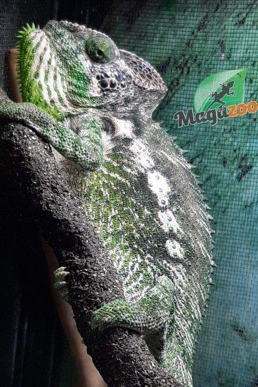 Magazoo Caméléon Crocodile mâle (Fucifer verrucosus)