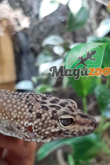 Magazoo Gecko léopard (Femelle) - Adoption - 2ième chance