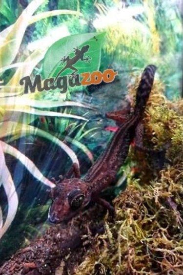 Magazoo Gecko terrestre de Madagascar( mâle) / Graceful Madagascar ground