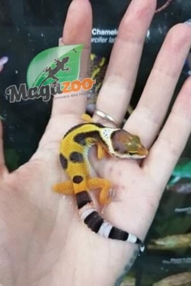Magazoo Gecko léopard Tangerine Tornado (incubé femelle ) # 13 né 20 avril