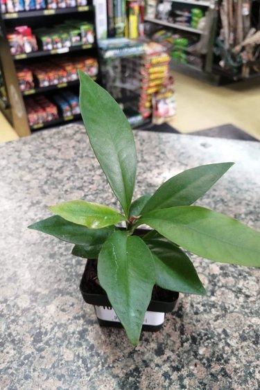 Magazoo Plante Ardisia humilis