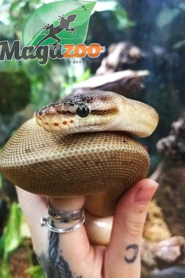 Magazoo Python Royal Pastel HRA Génétic Stripe Bébé Femelle