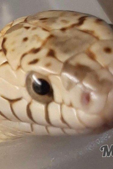 Magazoo Serpent Roi de Brooks Hypo mâle adulte