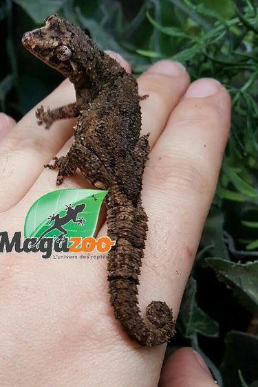 Magazoo Gecko hedgehog leaf-toed