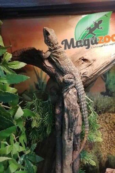 Magazoo Iguane à collier de Madagascar (Mâle)/Oplurus cuvieri