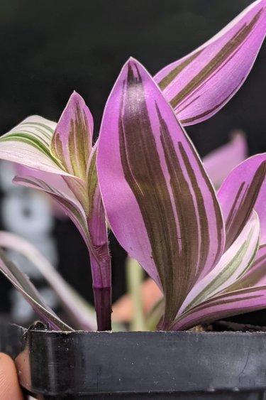 Magazoo Plante Tradescantia 'Nanouk'