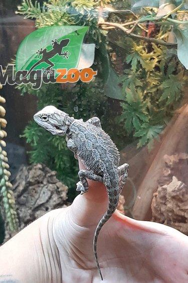 Magazoo Dragon Barbu Bébé Mâle