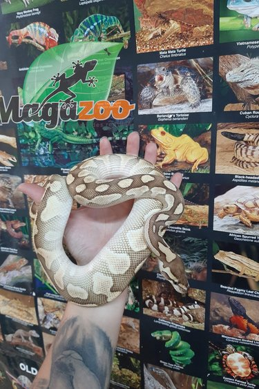 Magazoo Python Royal Butter Het Clown Mâle  *Mange Vivant